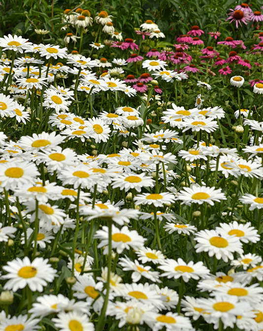 daisies and more flowers in Western New York