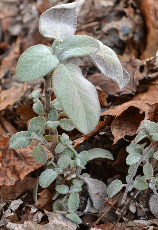 sage in April by Connie Oswald Stofko