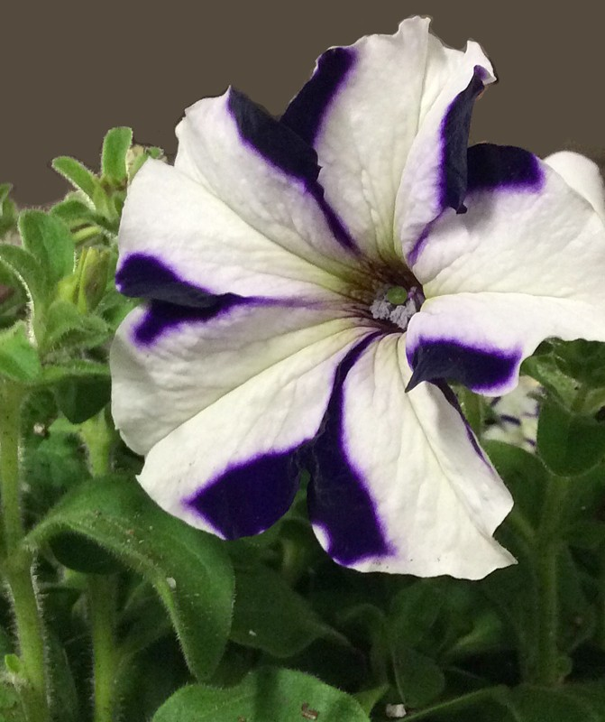 'Ultra Blue Star' petunia from Buffalo Erie County Botanical Gardens