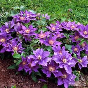 clematis Bijou courtesy Hertiage Perennials