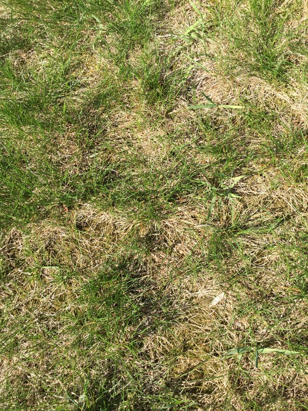 closeup of lawn problem from Martha Neri of Williamsville