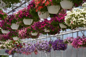 hanging baskets at Lockwoods in Hamburg by Stofko