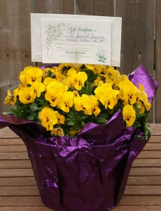 pansy with gift certificate from Mischler's