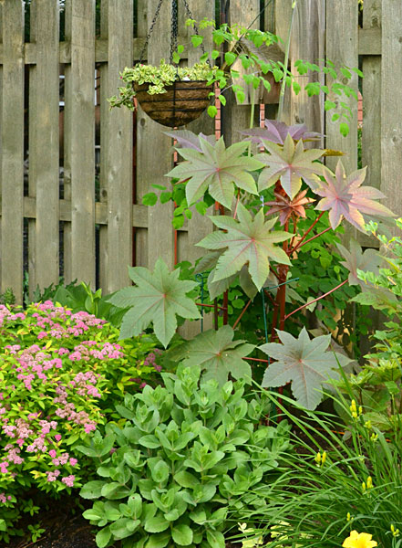 castor iplant n Hamburg NY garden
