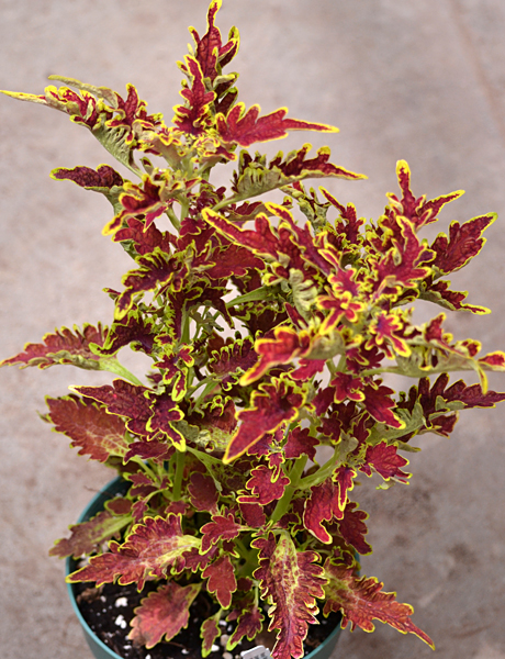 reasons why the botanical gardens uses coleus  why you should, Beautiful flower