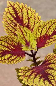 coleus Hottie