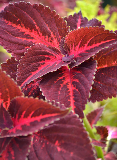 coleus Kingswood Torch at Buffalo Botanical Gardens