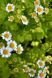 feverfew in Buffalo NY