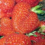 strawberries-from-Goodman's-Farm-Market
