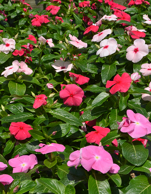 annual vinca at Mischler's in Williamsville