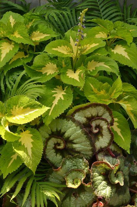 escargot rex begonia and coleus in Snyder NY