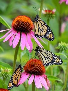 monarch from Jamestown Audubon
