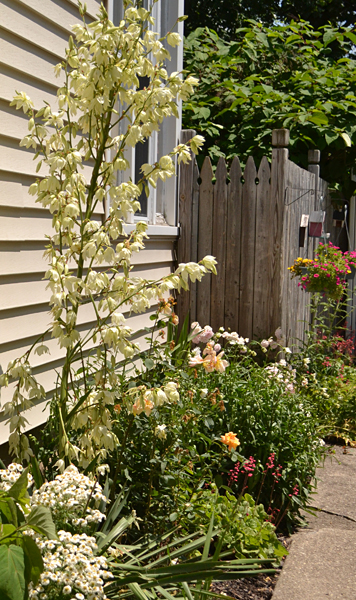 yucca in bloom along driveway in Amherst NY