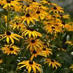 black-eyed Susans in Amherst