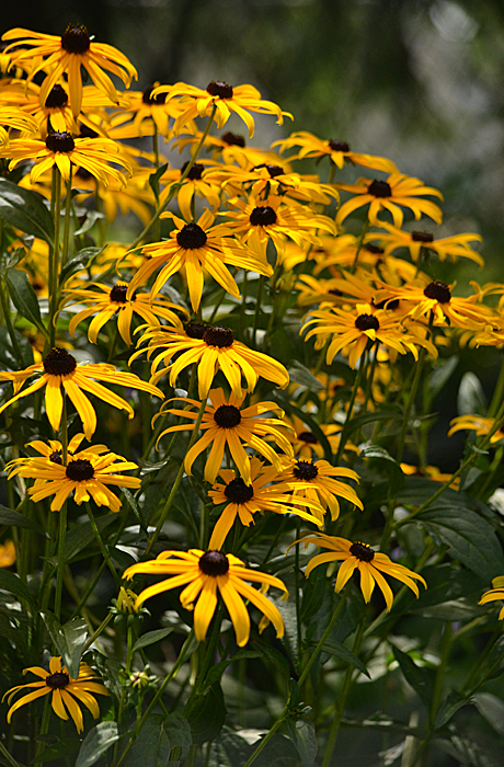 black-eyed Susans in Amherst