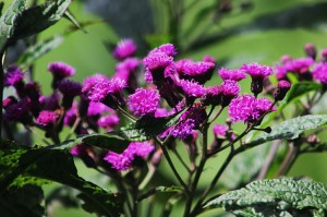 Veronia or New York ironweed