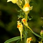 butter and eggs or linaria vulgaris
