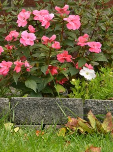 New Guinea impatiens in October in Amherst NY