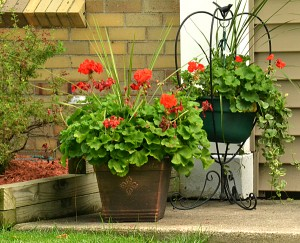 annuals in pots in Amherst NY
