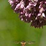 bee and milkweed flower in Buffalo