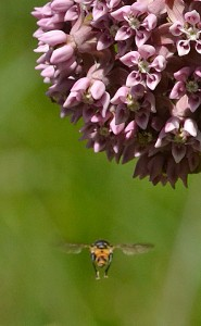 bee and milkweed flower in Buffalo
