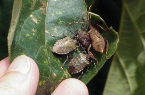 Cluster of stink bugs