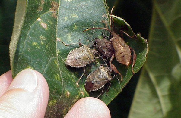 Brown marmorated stink bug cluster