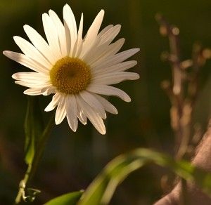 shasta daisy in autumn garden