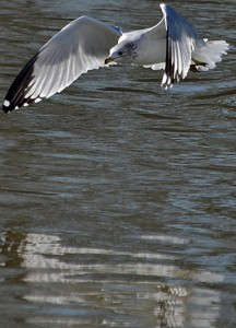 gull flying with reflection on water