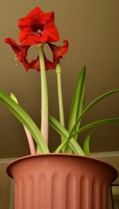 amaryllis in large pot