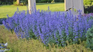 nepeta from Proven Winners