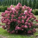 Hydrangea paniculata 'Fire Light'. Photo courtesy Proven Winners