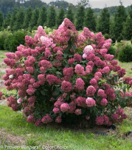 Hydrangea paniculata 'Fire Light'. Photo courtesy Proven Winners