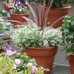 mixed container of annuals from Waterman's Greenhouse