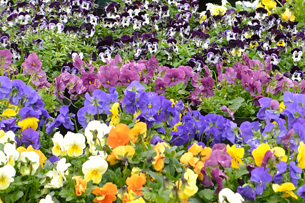 pansies at Mischler's in Williamsville NY