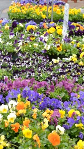 pansies in Williamsville NY