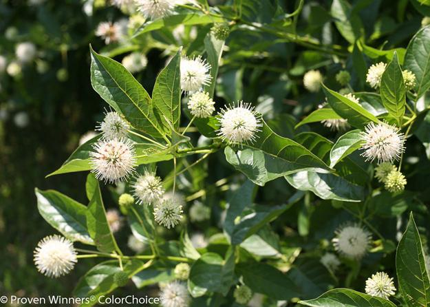 Cephalanthus 'Sugar Shack'