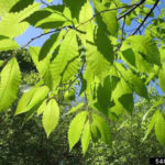 leaves on American chestnut