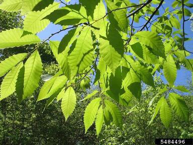 leaves on American chestnut tree