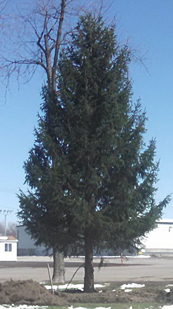 Norway spruce at Fairgrounds in Hamburg