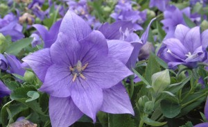 Platycodon Astra Double Blue