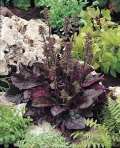 Salvia 'Purple Volcano'