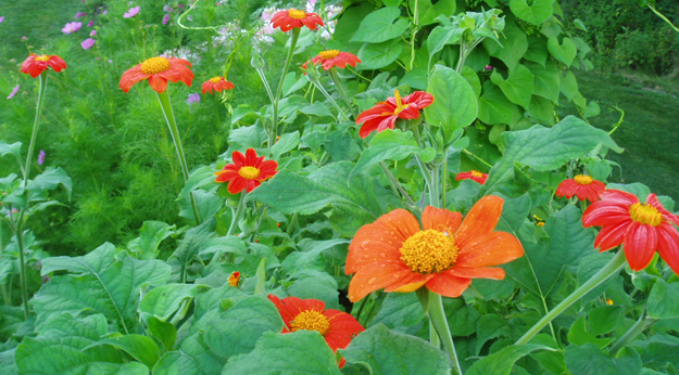 Tithonia rotundifolia 'Torch' or Mexican sunflower
