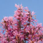 agastache Acapulco salmon and pink