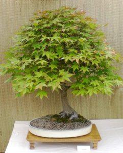 bonsai maple in Buffalo NY