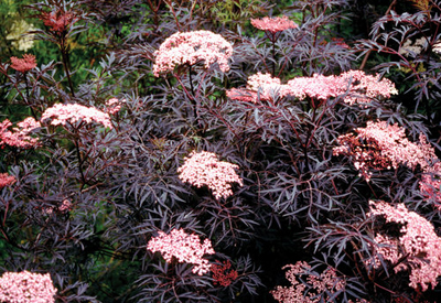 elderberry sambucus black lace