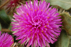 gomphrena-pink-zazzle