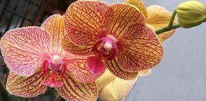 orchid courtesy Lockwood's in Hamburg