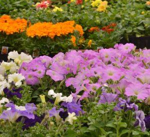 rows flowers Goodman's Niagara Falls