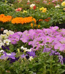 rows of flowers in Niagara Falls